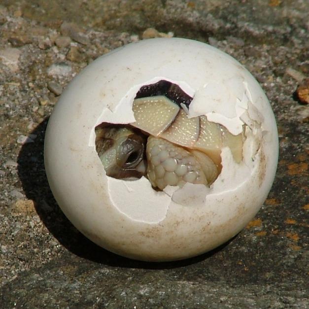 Tortoise Hatchling