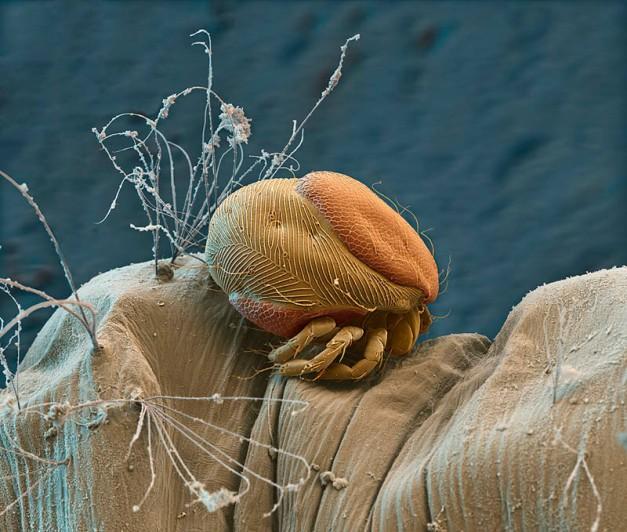 Parasite Mite