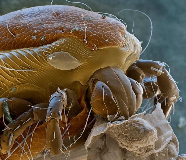 Water Mite